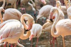 Flaming w zoo Tajlandia Obrazy Royalty Free