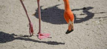 Flaming, zoo serie, natura, zwierzę Fotografia Stock