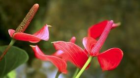 Flaminga anthurium lub lelui kwiaty Obrazy Stock