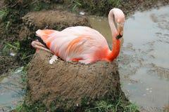 flaminga błota gniazdeczko Fotografia Stock
