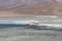 Flaminga Barwiony Jeziorny bolÃvia Fotografia Stock
