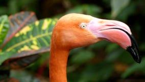 Flaminga belfra pustkowie zbiory wideo