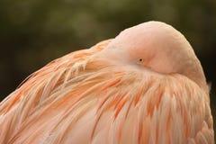 Flaminga Chować obraz stock