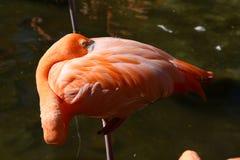 Flaminga dosypianie Zdjęcia Royalty Free