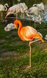 flaminga dosypianie osamotniony czerwony Zdjęcia Stock