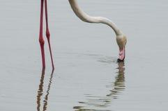 Flaminga karmienie nogi, szyja i głowa w stawie -, Fotografia Stock