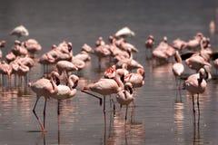 flaminga kierdel Zdjęcia Stock