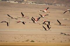 flaminga lot Zdjęcia Stock
