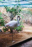 Flaminga nadwodny ptak Obraz Royalty Free