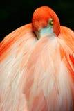 flaminga odpoczynek Obraz Stock