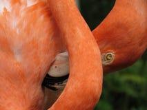 Flaminga pełen wdzięku pokaz fotografia stock