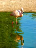 Flaminga Phoenicopterus karaibski ruber Obrazy Stock