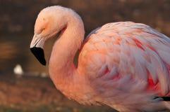flaminga portret Zdjęcia Stock