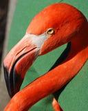 flaminga portret Zdjęcie Stock