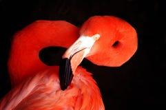 flaminga portret Obrazy Stock