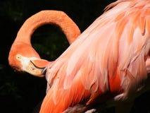 Flaminga portret w zoo w Nuremberg w Germany zdjęcie stock