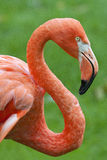 flaminga profil Zdjęcie Stock