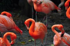 Flaminga ptak w naturze Zdjęcie Stock