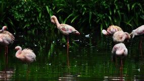 Flaminga ptak w naturze Zdjęcia Royalty Free