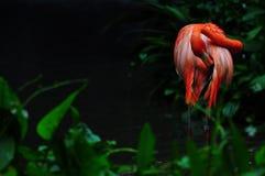 Flaminga ptak w naturze Fotografia Stock