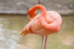 Flaminga ptak w zoo Fotografia Stock