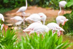 Flaminga ptaka menchie pi?kne przy jeziornej rzecznej natury tropikalnymi zwierz?tami - Wielki flaming obrazy stock