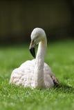 Flaminga Ptasi Relaksować/Siedzący puszek w trawie Obrazy Stock
