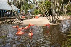 Flaminga ` s kąpanie i cieszyć się życie Fotografia Royalty Free