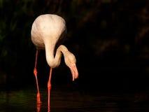 flaminga target577_0_ Fotografia Royalty Free