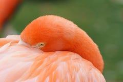 Flaminga zakończenie Zdjęcie Stock