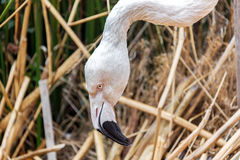 Flaminga zbliżenie Obrazy Royalty Free