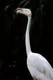 Flaminga zbliżenia woda pitna Fotografia Stock