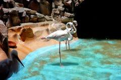 Flamingi żyją w Egipt zoo Obrazy Royalty Free