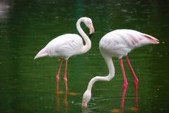 flamingi Zdjęcia Stock