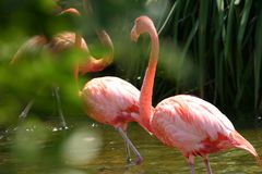 Flamingi Fotografia Royalty Free