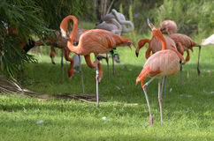 Flamingi Zdjęcie Royalty Free
