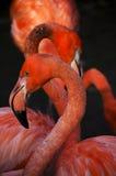 Flamingi Zdjęcie Stock