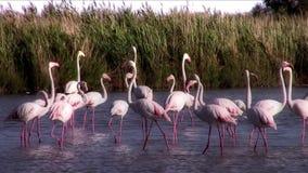 flamingi zdjęcie wideo