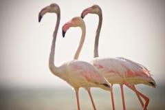 flamingi Zdjęcia Royalty Free
