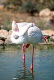 flamingi biały Zdjęcie Royalty Free