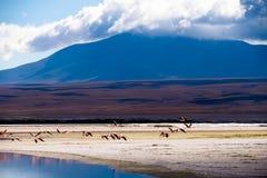 Flamingi bierze daleko Fotografia Royalty Free