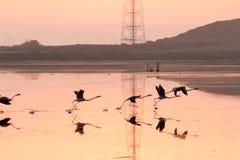 Flamingi bierze daleko w locie Zdjęcie Royalty Free
