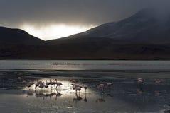 Flamingi Boliwia Zdjęcie Royalty Free