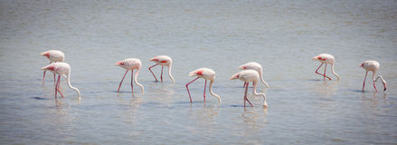 Flamingi Camargue Provence Fotografia Stock