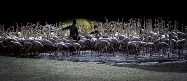 Flamingi, Dubaj, UAE, GCC Zdjęcie Royalty Free