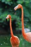 flamingi dwa Zdjęcie Stock