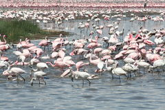 flamingi Kenya obrazy stock
