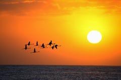 Flamingi lata przy zmierzchem pod jaskrawym słońcem Zdjęcie Royalty Free