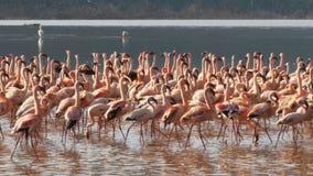 Flamingi maszeruje w jednomyślności przy jeziornym bogoria zbiory