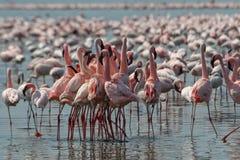 flamingi mniejszym zdjęcie royalty free